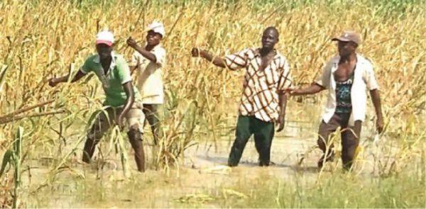 Rice farmland
